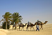 guide leading tourists on camels past palm trees in the sahara desert at Douz Tunisia