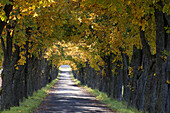 Avenue of chestnut trees