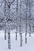 Bare, Cold, Coldness, Color, Colour, Covered, Daytime, exterior, forest, forests, nature, outdoor, outdoors, outside, scenic, scenics, Season, Seasons, Snow, Snow-covered, Snowcovered, Snowy, tree, trees, Trunk, Trunks, Vertical, Weather, White, Winter, W