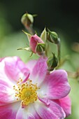Bloom, Blossom, Bud, Button, Color, Colour, Culture, Diversity, Ecology, Flower, Fragility, Green, Grow, Harmony, Leaf, Life, Nature, New, Petal, Pink, Plant, Prime, Purity, Season, Spring, Vegetal, Vertical, Yellow, XW6-921882, agefotostock