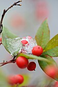 Berry, Calm, Close-up, Cold, Contryside, Culture, Detail, Dew, Diversity, Ecology, Exterior, Fragility, Freeze, Green, Harmony, Leaf, Nature, Nobody, Outdoors, Peace, Plant, Purity, Quiet, Red, Season, Silence, Vegetal, Winter, XW6-982076, agefotostock