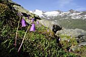 Soldanellen stehen vor Bergkulisse, Hangerer, Gurgl, Ötztal, Ötztaler Alpen, Tirol, Österreich