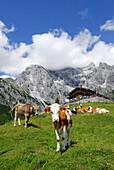 Cows standing in front of hut Erichhuette, mountains in the background, Hochkoenig range, Berchtesgaden range, Salzburg, Austria