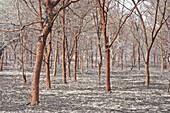 Acacia trees, Sudan, Africa