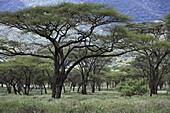 Acacia trees, Kenia, Afrika