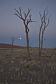 Tote Bäume bei Vollmond im Namib Naukluft Park, Sossusvlei, Namibia, Afrika