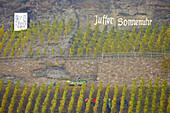 Grape harvesting at vineyard Juffer Sonnenuhr, Brauneberg, Wine district, Mosel, Rhineland-Palatinate, Germany, Europe