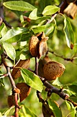 Almond tree, Rioja Alavesa, Araba, Basque Country, Spain