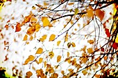 autumn, background, branch, brown, Color image, day, detail, faded, horizontal, leaf, natural, nature, outdoor, plant, season, special effect, tree, withered, B75-1017422, AGEFOTOSTOCK