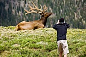 Tourist photographs elk in alpine meadow in Rocky Mountain National Park, Colorado