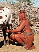 Namibia - Himba woman with the typical leather headdress of the married women milking a cow In a village near the Epupa Falls Kaokoland, Kunene region, northern Namibia