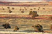 Namib - Grass-grown sand dunes and Camelthorn Trees Acacia erioloba in March during the rainy season at the edge of the Namib Desert NamibRand Nature Reserve, Namibia