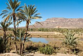 Morocco - Date palms Phoenix dactylifera, Drâa river and the famous Kasbah = fortress Tamnougalt against the background of the Djebel Kissane mountain ridge Drâa valley, southern Morocco