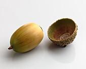 One acorn close up