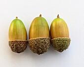 Three acorns close up.