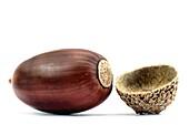 A single acorn close up