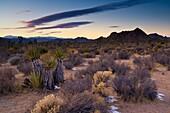 Evening light over desert flora, near Quail Springs, Joshua Tree National Park, California
