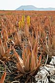 Plantación de Aloe Vera canario Isla Fuerteventura Provincia Las Palmas Islas Canarias España