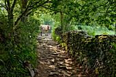 Track near Mercadoiro, near Portomarin, Camino Frances, Way of St. James, Camino de Santiago, pilgrims way, UNESCO World Heritage, European Cultural Route, province of Lugo, Galicia, Northern Spain, Spain, Europe