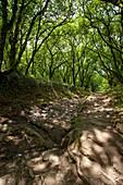 Sunken lane near Palas de Rei, Camino Frances, Way of St. James, Camino de Santiago, pilgrims way, UNESCO World Heritage, European Cultural Route, province of Lugo, Galicia, Northern Spain, Spain, Europe