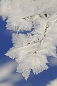 Snow crystals on a branch, Hemmersuppenalm, Reit im Winkl, Chiemgau, Upper Bavaria, Bavaria, Germany, Europe