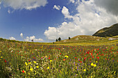 Cyclist at flower meadow at Campo Imperatore, Gran Sasso National Park, Abruzzi, Italy, Europe