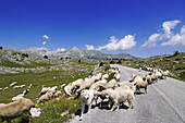 Flock of sheep with sheepdogs crossing country road, Campo Imperatore, Gran Sasso National Park, Abruzzi, Italy, Europe