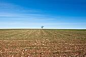 Agriculture, Colors, Cornfields, Environment, Europe, Horizontal, La mancha province, Landscape, Spain, K08-1032040, agefotostock