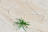 Patterns in cracked mud with Russian Thistle seedlings
