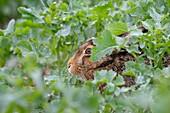 European brown hare (Lepus europaeus) in rape field, Spring, Germany