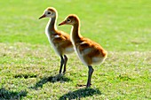Sandhill Cranes with young babies in natural habitat Lake Wales Florida