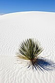 Plant growing in sand White Sands National Monument New Mexico