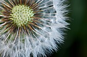 forefront of the dandelion flower with a green background