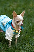 A chihuahua wearing a necklace and a shirt stands in the grass outdoors