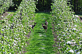 Roebuck In An Orchard Of Flowering Apple Trees, Somme (80), Picardy, France