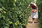 Woman Picking Red Tomatoes, The Gardens Of Imbermais, Eure-Et-Loir (28), France