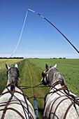 A Wagon Ride In The Perch Countryside Pulled By Percheron Horses, Les Ecuries Des Landes, Senonches, Perche, Eure-Et-Loir (28), France