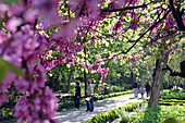 Strollers Under A Japanese Flowering Cherry Tree, Royal Botanical Gardens, Madrid, Spain