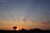 Sunrise above stone desert with quiver trees, Aloe dichotoma, Namib Naukluft National Park, Namib desert, Namib, Namibia