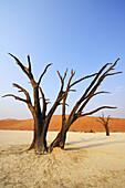 Abgestorbene Bäume vor roter Sanddüne, Deadvlei, Sossusvlei, Namib Naukluft National Park, Namibwüste, Namib, Namibia