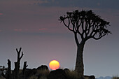 Quiver tree with sunset, Aloe dichotoma, Quiver tree forest, Keetmanshoop, Namibia