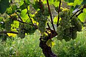 Grape-vine, Kaiserstuhl, Breisgau, Black Forest, Baden-Württemberg, Germany