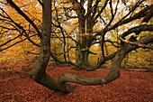 Old beech tree, nature reserve Urwald Sababurg, Reinhardswald, Hofgeismar, Hesse, Germany