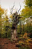 Alte Eiche, Naturschutzgebiet Urwald Sababurg im Reinhardswald, bei Hofgeismar, Hessen, Deutschland