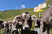 Cattle on pasture, Fiescheralp, Valais, Switzerland