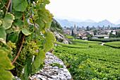 Vineyard, Chamoson, Rhone valley, Valais, Switzerland