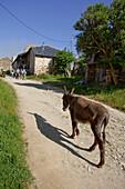 Donkey and pilgrims, Foncebadon, Castile and Leon, Spain