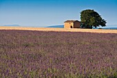 Lavender field and farmhouse in Provence, France, Europe