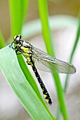 Emerging Common Clubtail, Gomphus vulgatissimus clings to marsh grass after emerging eyes are still grey and not fully formed Before first flight Wings not yet dried Eyes will change to olive or brown color as mature Males will turn green as they …