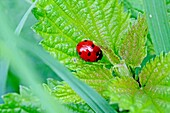 Seven-spotted Ladybird Beetle, Beetle on fresh nettle Seven-spotted ladybirds lurk and jump on their prey something like cats pouncing on mice They don't always stand still and browse Sideview with a bit of motion blur from the jumping